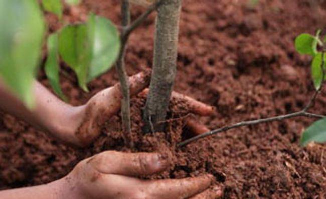 У Луцьку саджали дерева миру