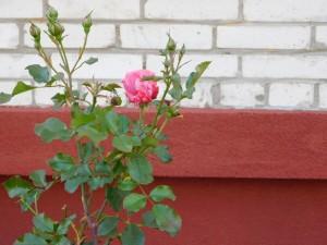 ОСББ на Кравчука, 48 у Луцьку має свій міні-сад і квіткову галерею